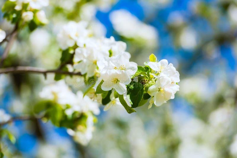 Download 苹果树开花 库存照片. 图片 包括有 花卉, 照亮, 背包, 本质, 植物群, 新鲜, budd, 公园 - 72359418