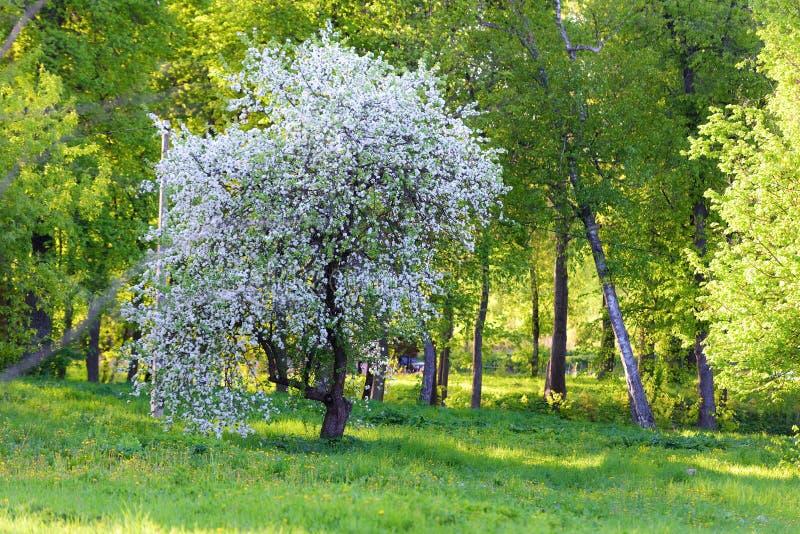 Download 苹果树开花 库存图片. 图片 包括有 背包, 公园, 从事园艺, 本质, 自然, 室外, 植物群, 绿色 - 72360531