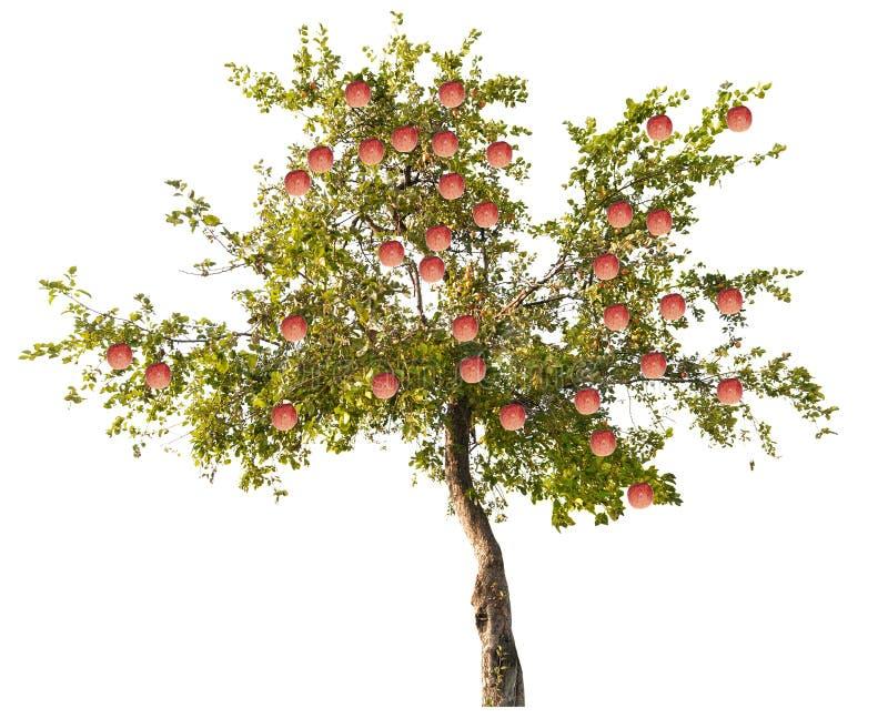 苹果树用在白色的大桃红色果子 免版税库存照片