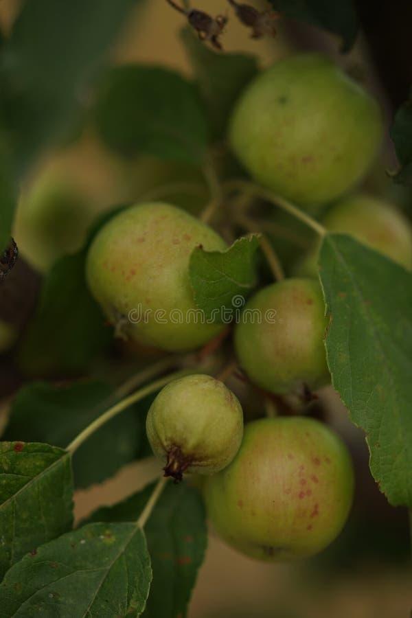 苹果树用很多成熟的绿色苹果,夏天果树园,豪华的收获 库存图片