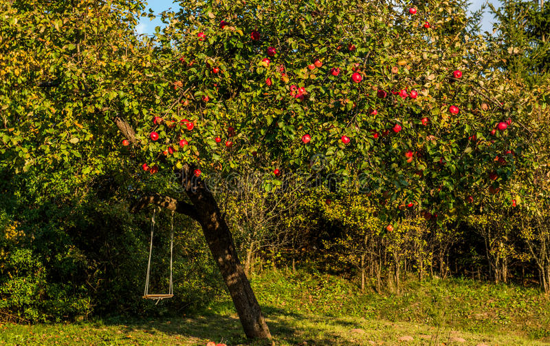 苹果树用红色苹果 库存图片
