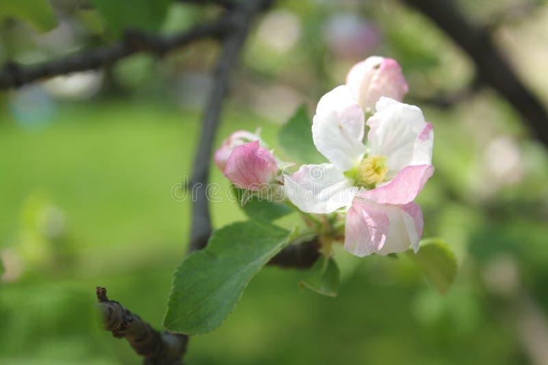 苹果树白色和粉红花有绿色背景 免版税库存图片