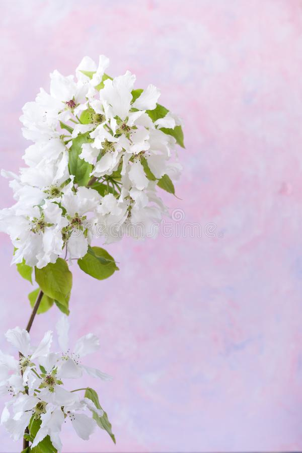 苹果树白色开花的分支在时髦织地不很细白桃红色丁香背景的与在右边的拷贝空间 库存图片