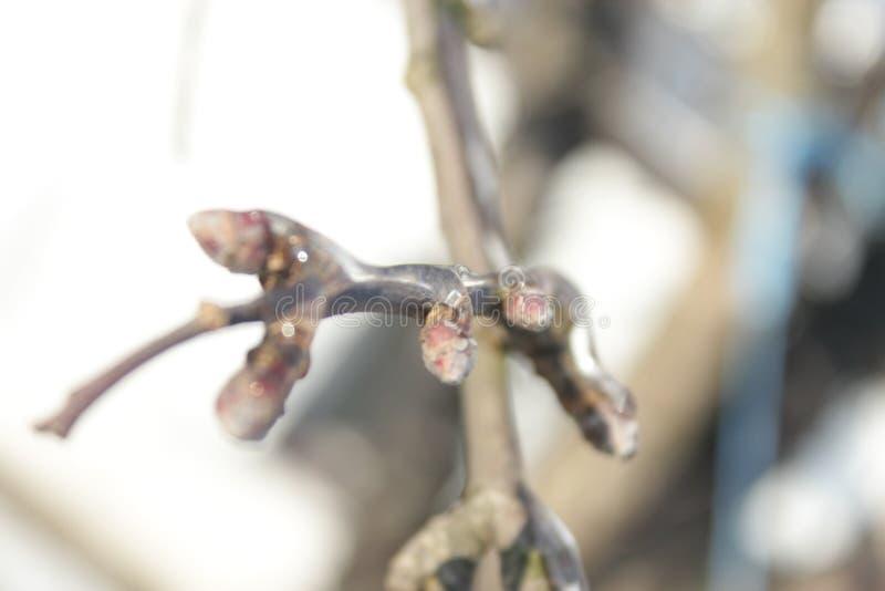 苹果树的冰冷的枝杈特写镜头在冬天 免版税图库摄影
