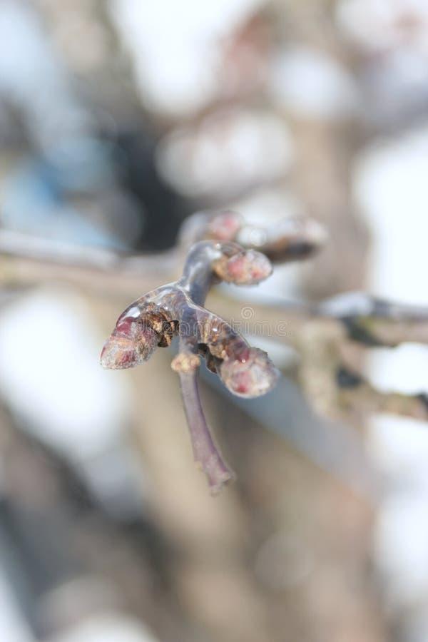 苹果树的冰冷的枝杈特写镜头在冬天 库存图片