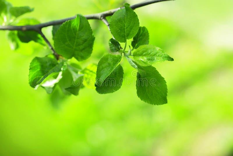 苹果树的分支 免版税图库摄影
