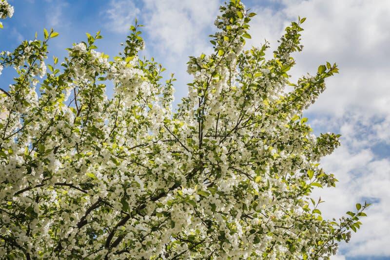 苹果树的枝杈与年轻绿色叶子和白花的在一天空蔚蓝有云彩背景在春天在公园 库存照片