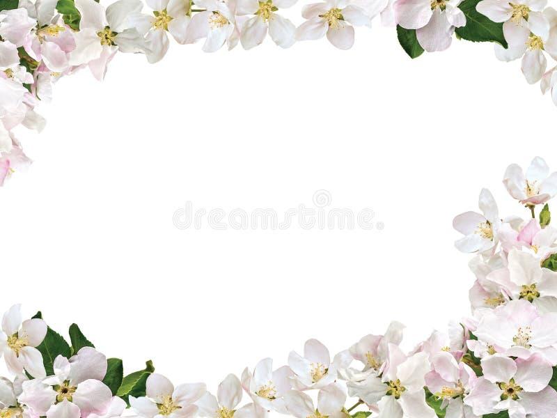 从苹果树的花的框架 免版税库存照片