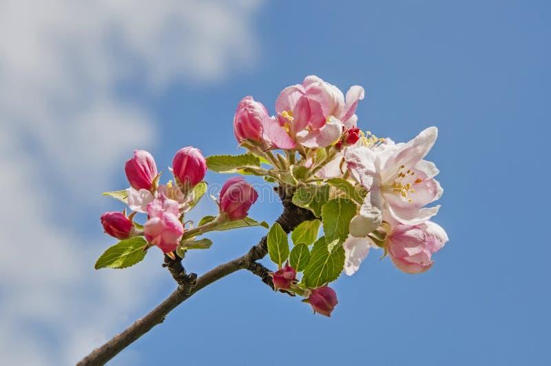 苹果树花反对蓝天的 库存照片