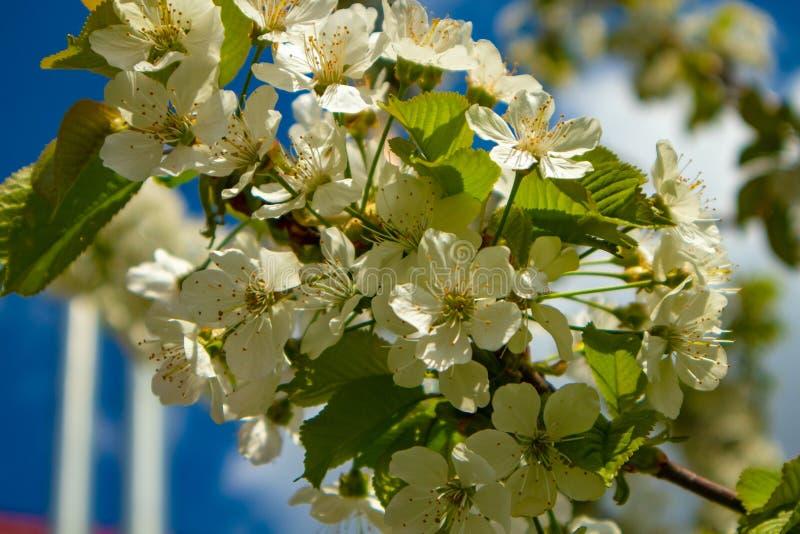 苹果树花在夏天庭院里 免版税图库摄影