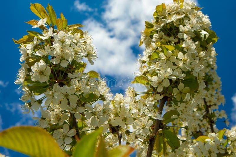 苹果树花在夏天庭院里 免版税库存图片