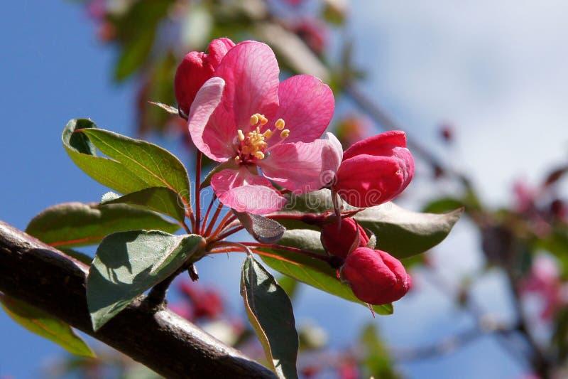 苹果树紫色花 免版税库存照片