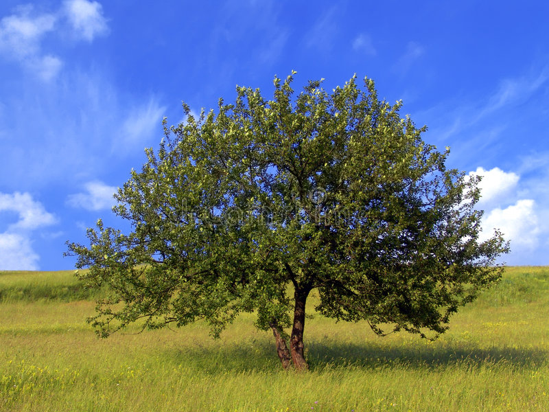 苹果树 库存图片