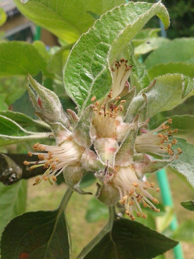 苹果树budd开花花果树 库存照片