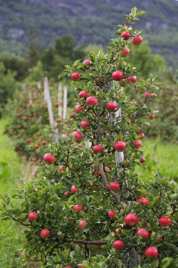 苹果树Lofthus 库存图片