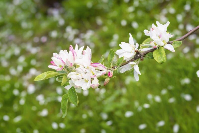 苹果桃红色花开花,佐仓花,樱桃,晴天 天然泉背景 库存图片