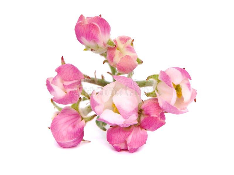 苹果桃红色花  库存图片