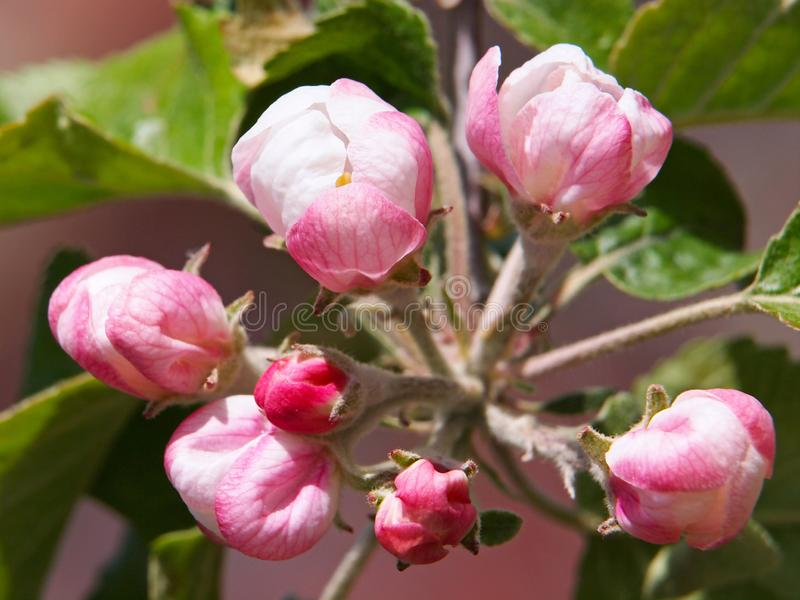苹果桃红色花  图库摄影