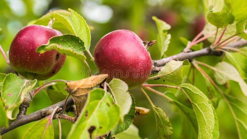 苹果特写镜头 垂悬在一个分支的水多,成熟,红色苹果在庭院里 库存图片
