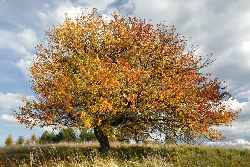 苹果秋天结构树 库存图片