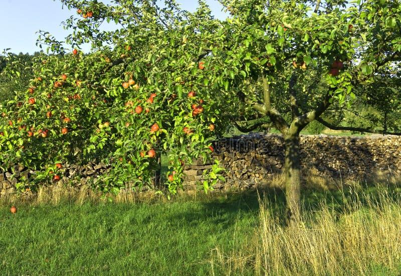 苹果红色结构树 库存图片