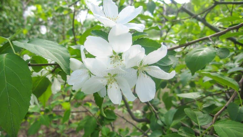苹果细白花 库存图片