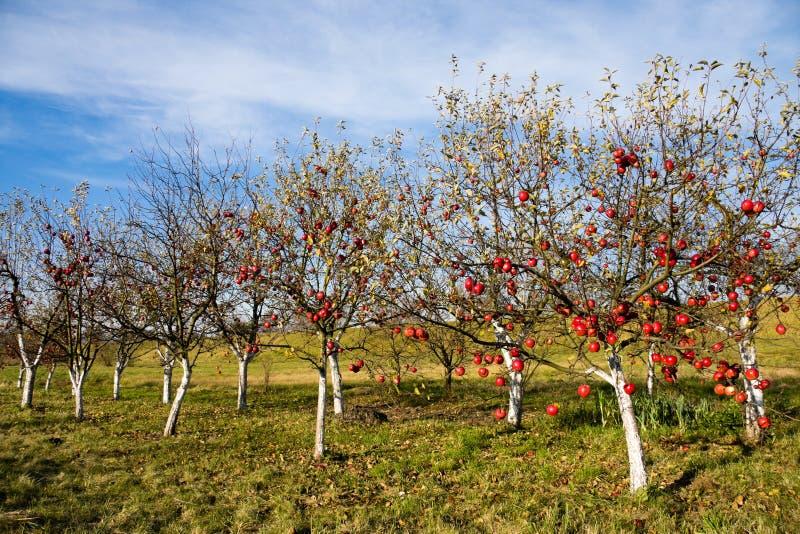 苹果结果实成熟结构树 图库摄影