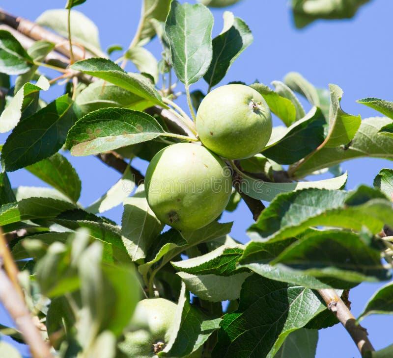 苹果绿的结构树 免版税库存照片