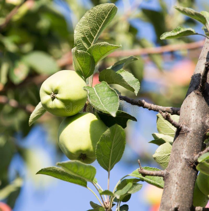 苹果绿的结构树 免版税图库摄影
