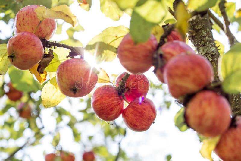 苹果美好的例证结构树向量 免版税库存图片