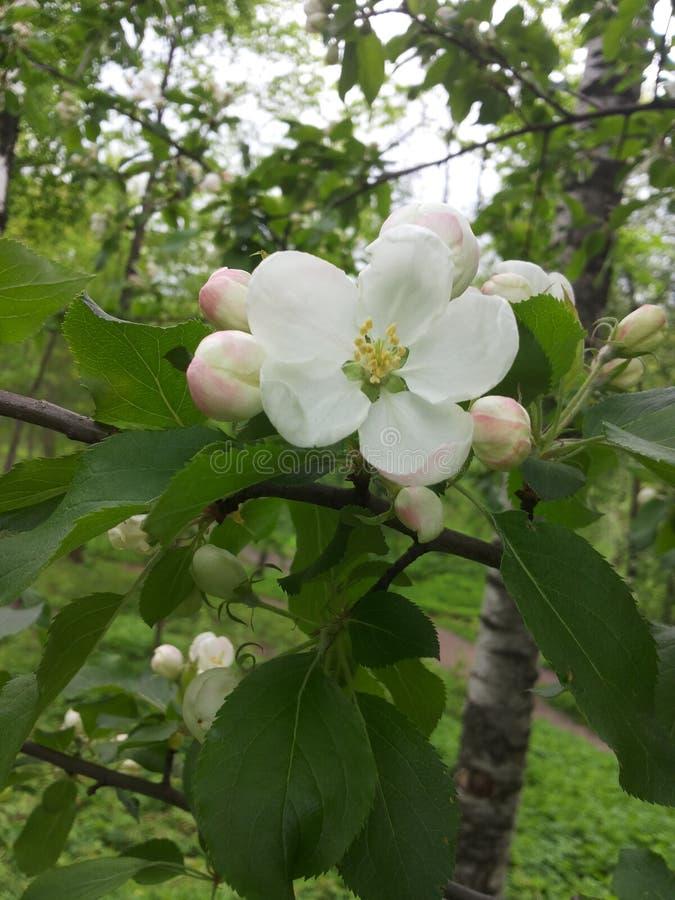 Download 苹果美好的例证结构树向量 库存图片. 图片 包括有 春天, 结构树, 申请人, 开花 - 72368615