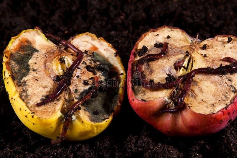 苹果腐烂的蠕虫 免版税库存照片