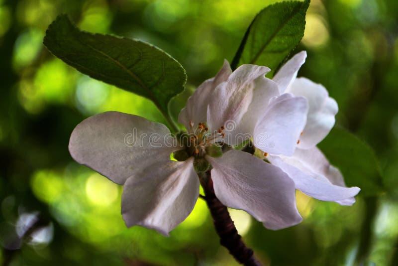 苹果花,春天花今天 库存照片