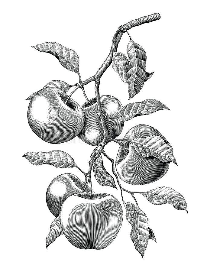苹果计算机分支手图画葡萄酒板刻例证孤立 皇族释放例证