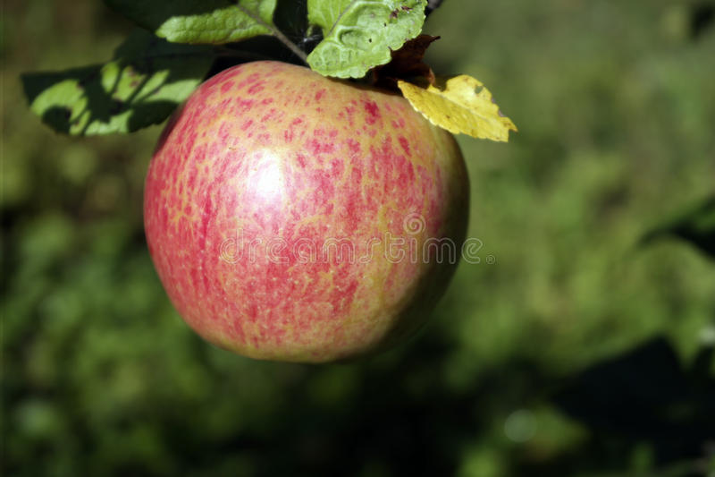 苹果计算机和叶子在一个分支在一个晴天 库存图片