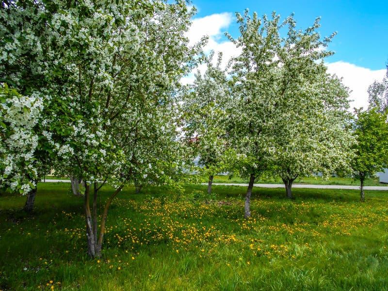 苹果计算机在春天开花在城市庭院里 库存图片