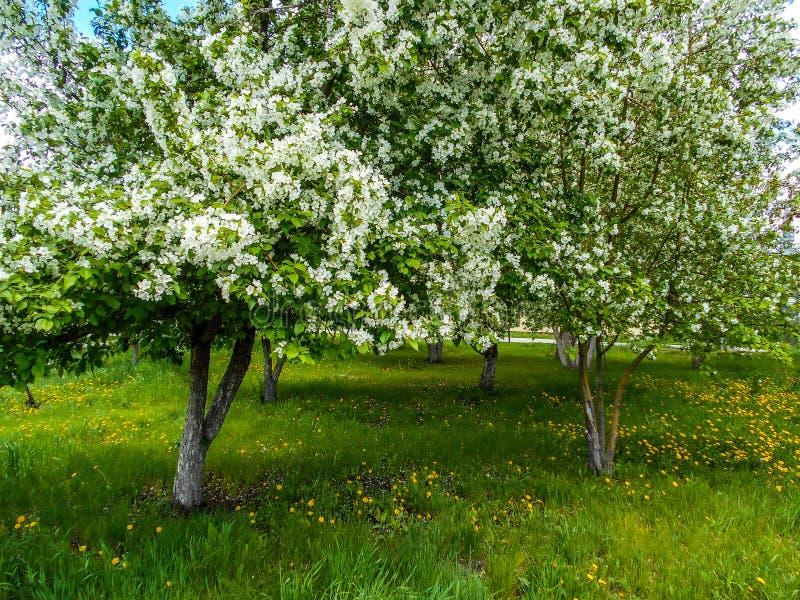 苹果计算机在春天开花在城市庭院里 图库摄影