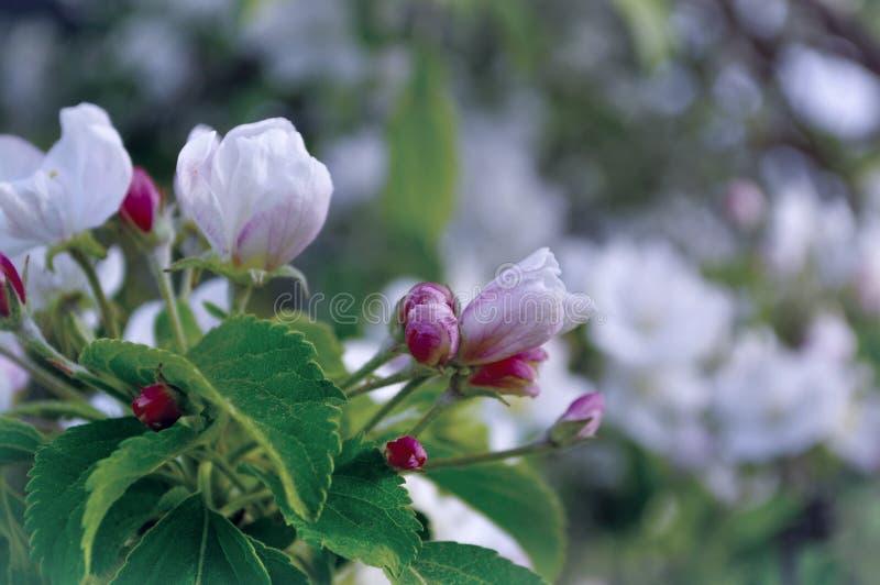苹果计算机在春天开花开花在软的阳光-在淡色口气的天然泉花卉背景下 库存图片