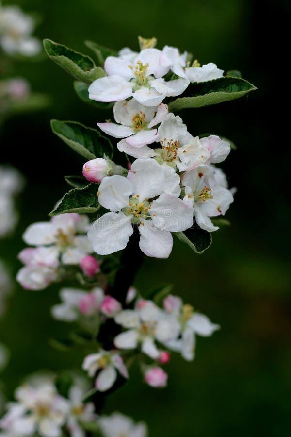 苹果计算机在春天开花 库存照片