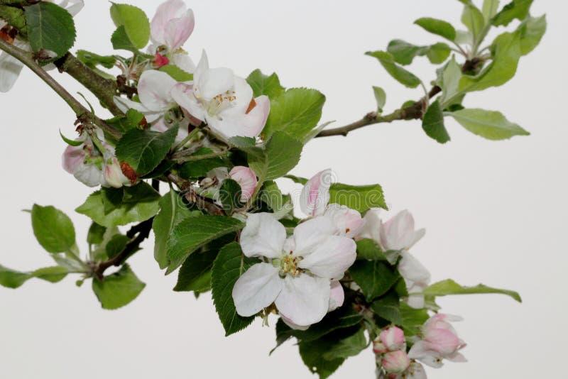 苹果计算机在春天开花 库存图片