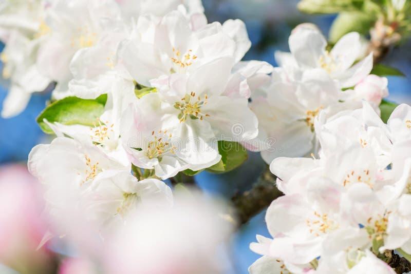 苹果计算机在蓝天背景的春天开花 图库摄影