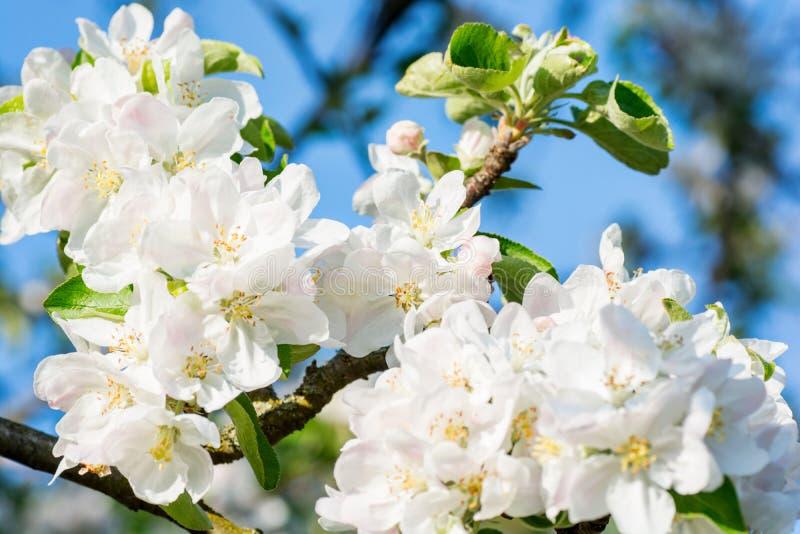 苹果计算机在蓝天背景的春天开花 免版税库存照片