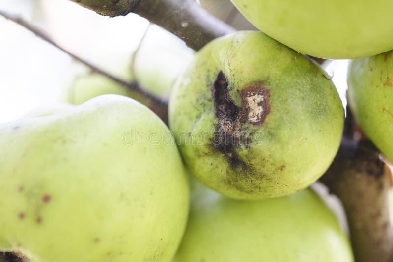 苹果计算机斑点病文图里亚inaequalis传染的果子 免版税库存图片