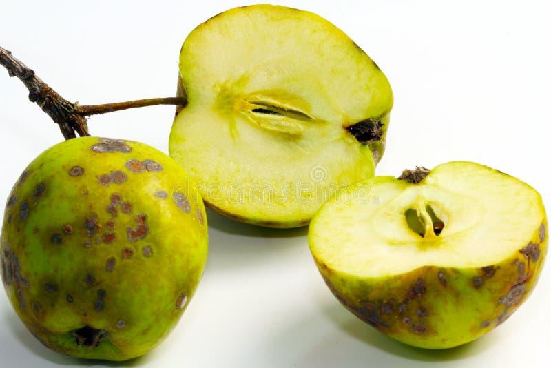 苹果计算机斑点病,果子疾病 库存照片