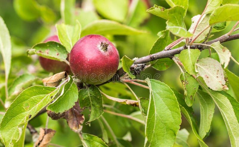 苹果计算机特写镜头 垂悬在一个分支的水多,成熟,红色苹果在庭院里 免版税图库摄影