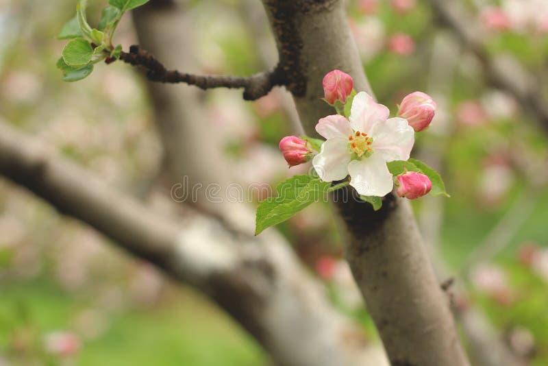 苹果计算机花在早期的春天 免版税图库摄影