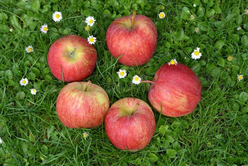 苹果计算机 在草的新近地摘的苹果 库存图片
