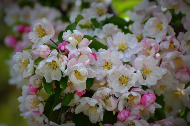 苹果绽放开花分行春天结构树 免版税库存图片