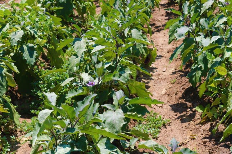 茄子在庭院里 生长在土壤的茄子 免版税库存照片
