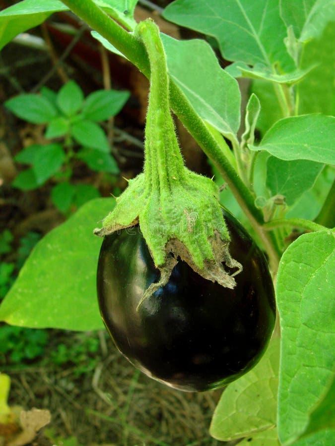 茄子庭院 库存照片